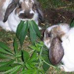 Conejos Marihuanos