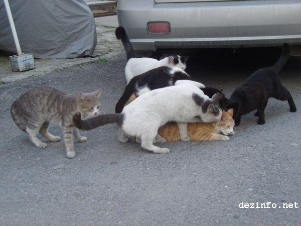 gato taque