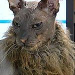 El gato mas feo del mundo.