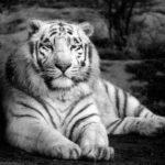 Datos curiosos sobre los tigres