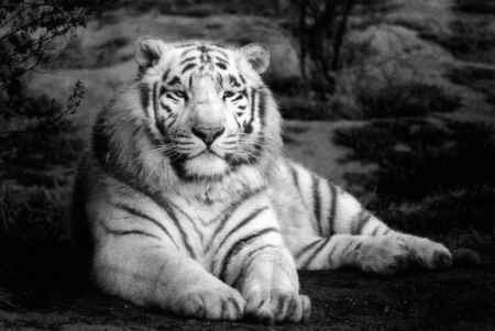 tigre-blanco[1]
