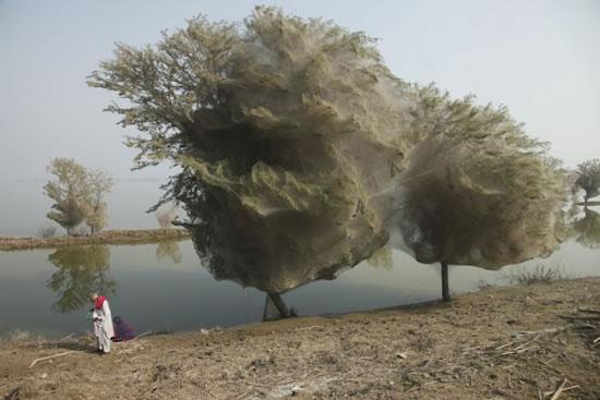 Arañas Pakistan (7)