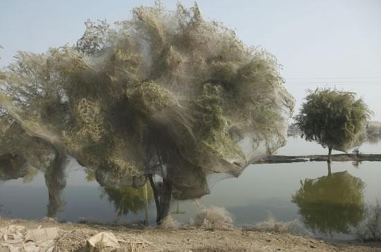 Arañas Pakistan (6)