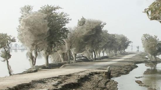 Arañas Pakistan (3)