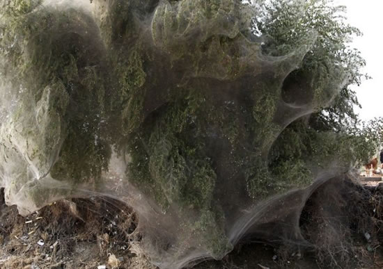 Arañas Pakistan (1)
