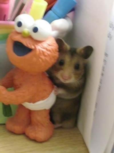 elmo rata