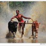 Maramadi, la carrera de toros en India
