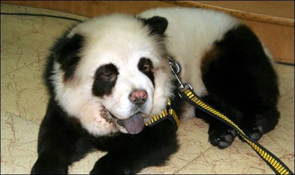 Panda o perro (7)