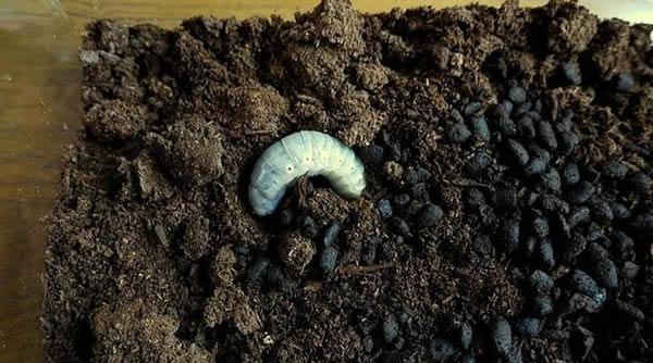 Escarabajo Hercules (1)
