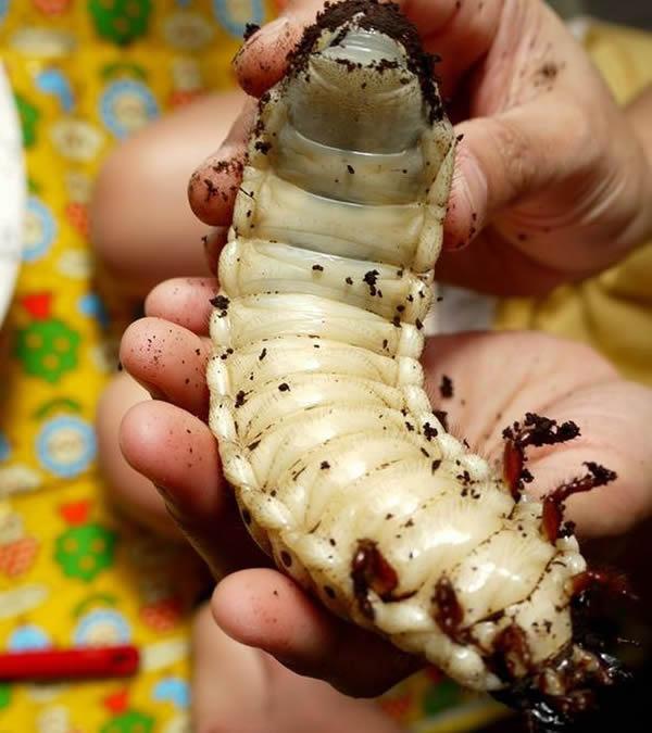 Escarabajo Hercules (13)