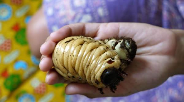 Escarabajo Hercules (25)