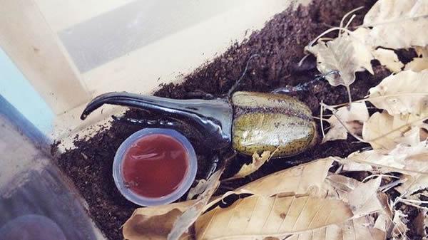 Escarabajo Hercules (37)