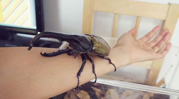 Escarabajo Hercules (48)