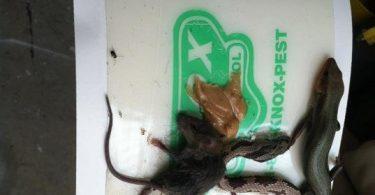 trampa ratas