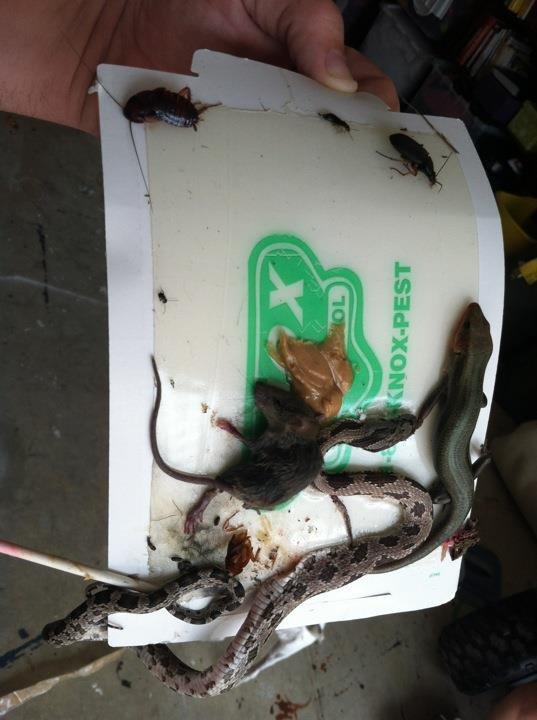 Trampa para ratas marcianos - Trampas de ratones ...