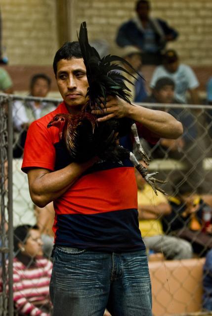 peleas de gallos (2)