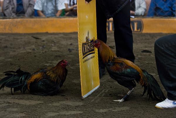 peleas de gallos (5)