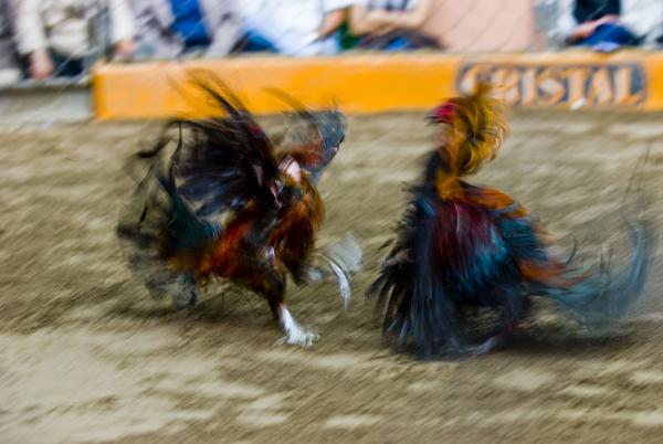 peleas de gallos (1)