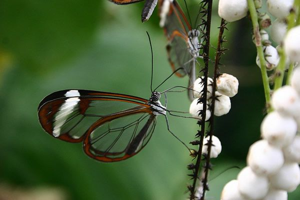 Mariposa Glasswing (21)