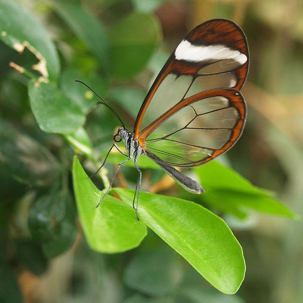 Mariposa Glasswing (19)