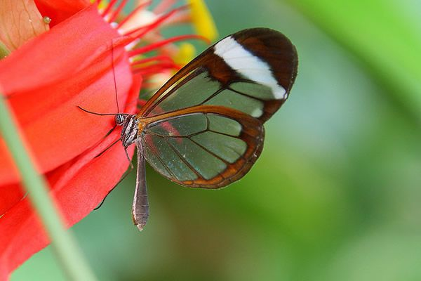 Mariposa Glasswing (18)