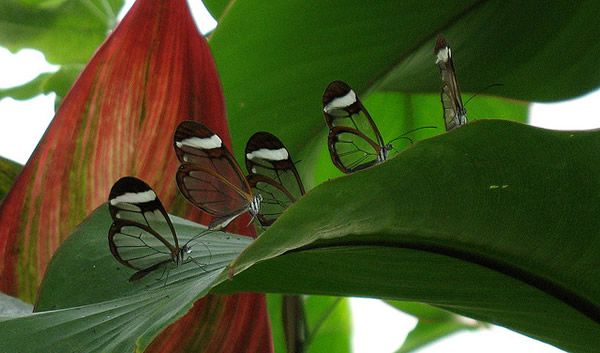 Mariposa Glasswing (17)