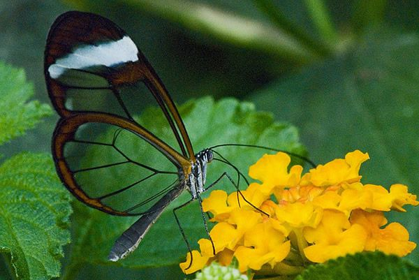 Mariposa Glasswing (16)