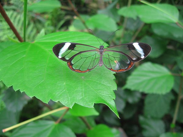 Mariposa Glasswing (14)