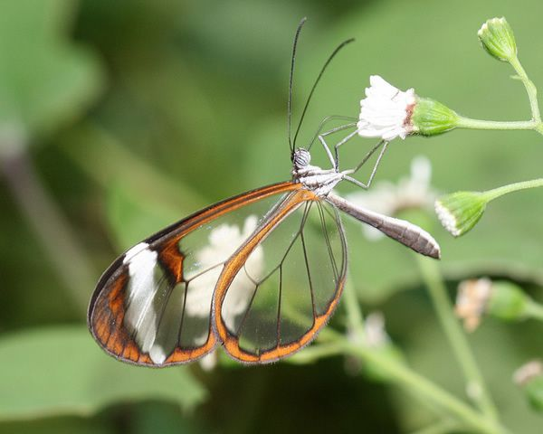 Mariposa Glasswing (11)