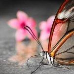 Mariposa Glasswing (alas de cristal)