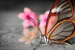 Mariposa Glasswing (22)