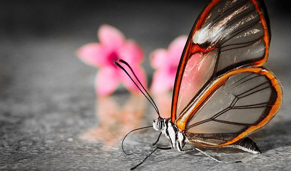 Mariposa Glasswing (22)