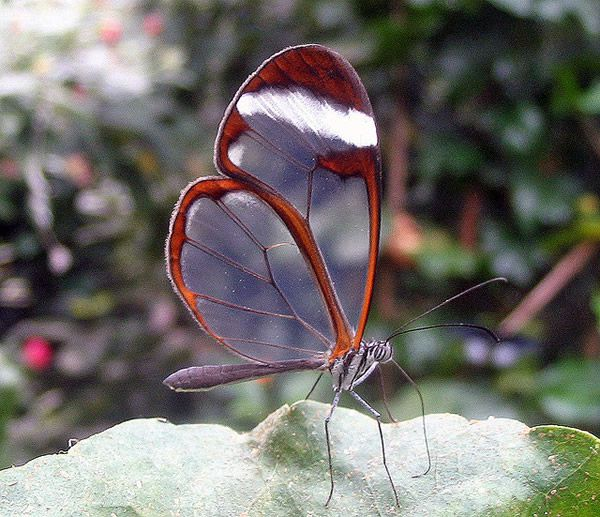 Mariposa Glasswing (10)