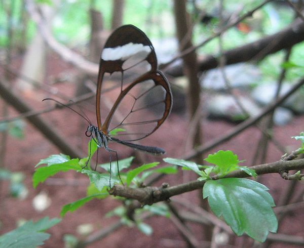 Mariposa Glasswing (5)