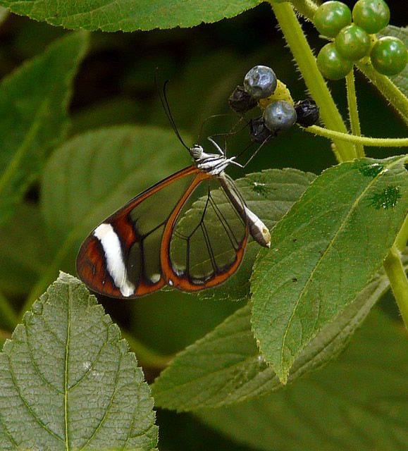 Mariposa Glasswing (4)