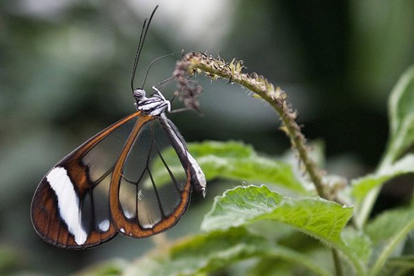 Mariposa Glasswing (15)
