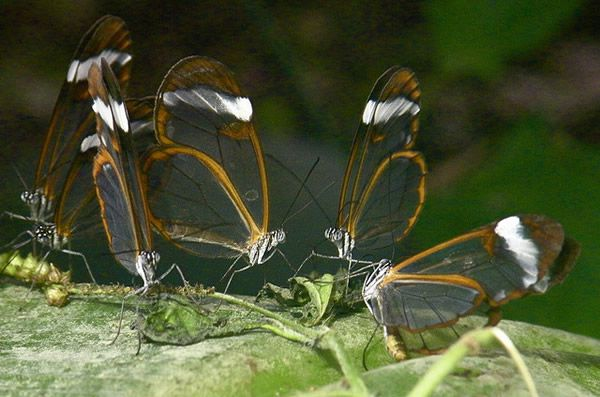 Mariposa Glasswing (9)