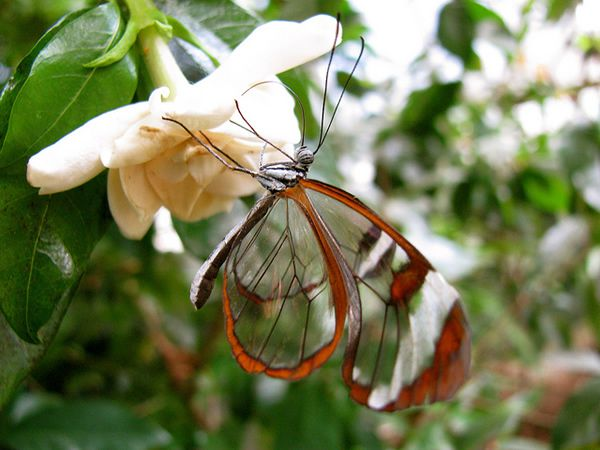Mariposa Glasswing (8)