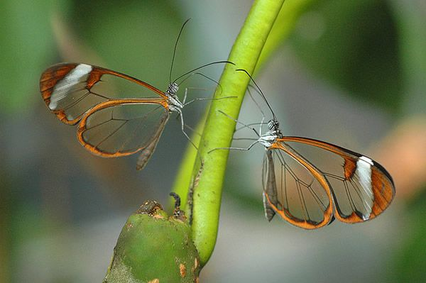 Mariposa Glasswing (7)