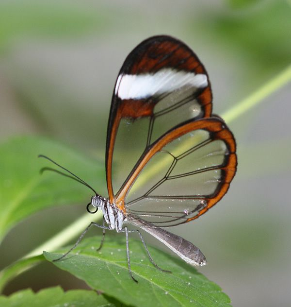 Mariposa Glasswing (6)