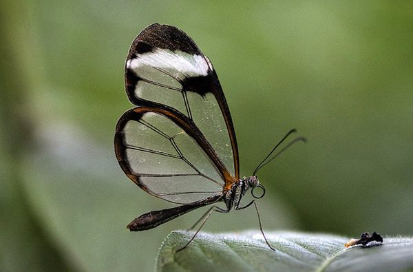 Mariposa Glasswing (3)