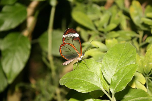 Mariposa Glasswing (2)