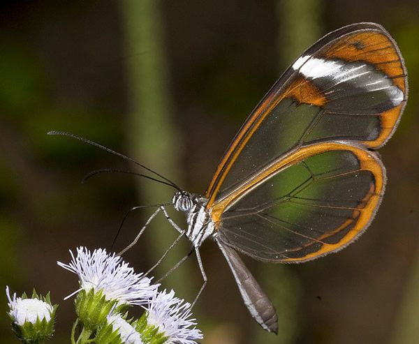 Mariposa Glasswing (1)
