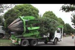Cómo se trasplantan los árboles grandes