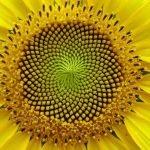 La secuencia Fibonacci en las flores