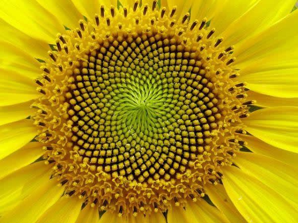 Fibonacci en la flores (9)