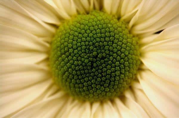 Fibonacci en la flores (7)