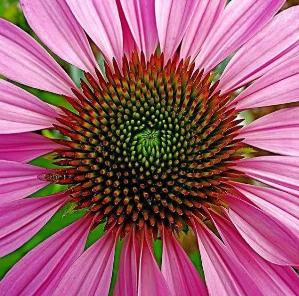 Fibonacci en la flores (5)