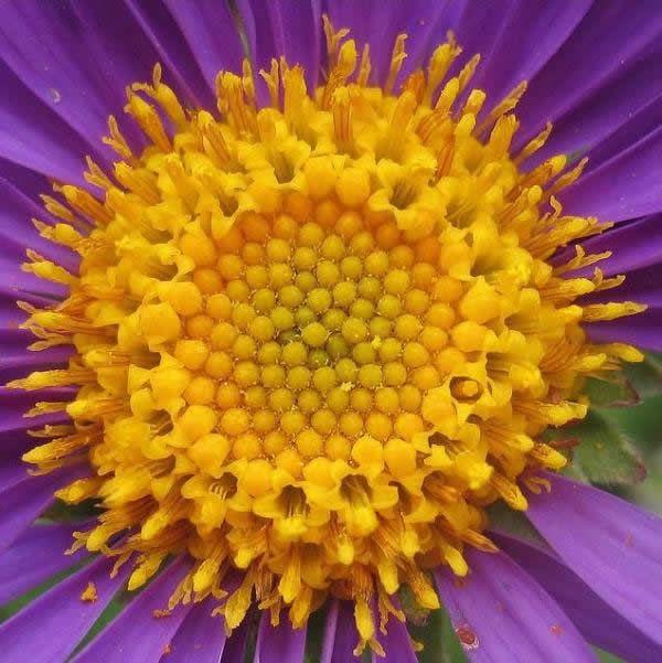 Fibonacci en la flores (3)