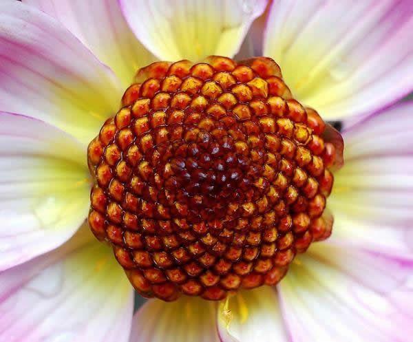 Fibonacci en la flores (2)